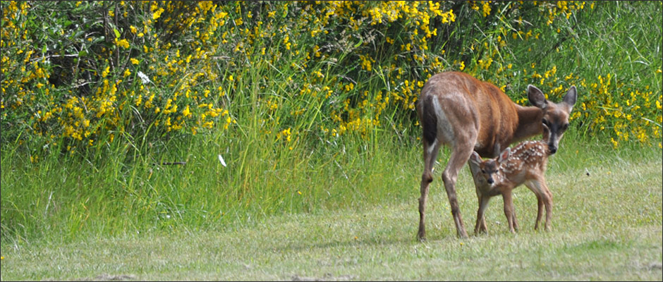 Comox Valley Wildlife deer fawn